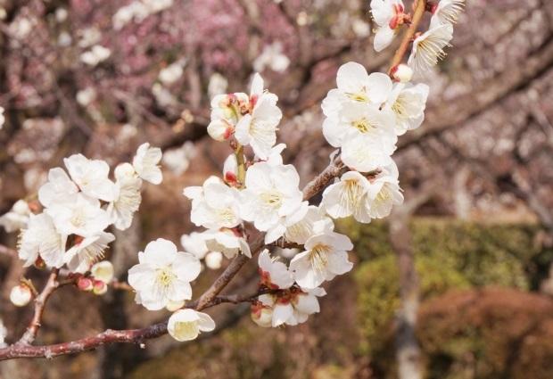 新宿御苑前駅_新宿御苑で撮影できた白い梅