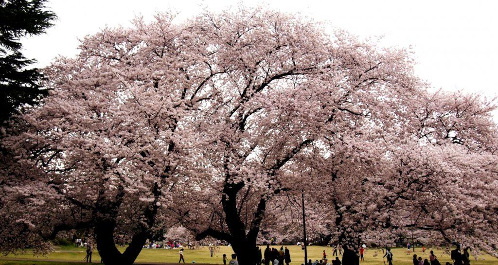 成城学園前駅_砧公園_満開の桜
